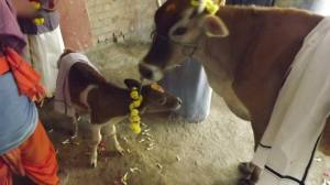 Cow and her Calf - they were our first houseguests during our housewarming. Signs of fertility and prosperity. A pooja for the mother & the calf - living Gods on planet earth.